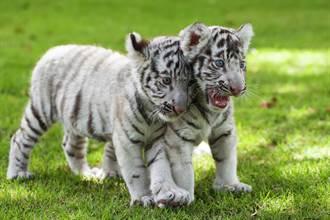 幼虎搞失蹤被虎媽叼起帶著走 腳騰空跑不掉厭世臉皺一團