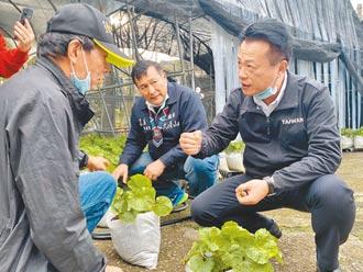 阿里山山葵復育 明年可望賣種苗