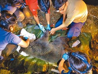 母熊誤觸陷阱 林管處救援送醫