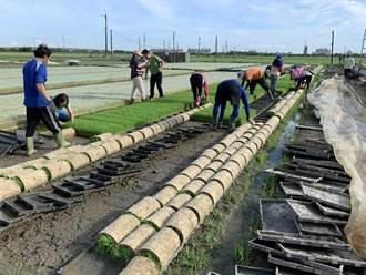 明年嘉南一期稻作停灌 育苗及代耕業者申請資格放寬