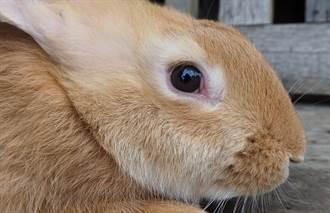 兔界名流大得像小豬 愛看電視擁有專屬臥室