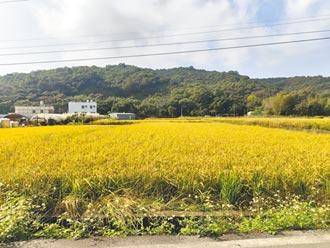 龜山楓樹坑遍地金黃 稻作將收成