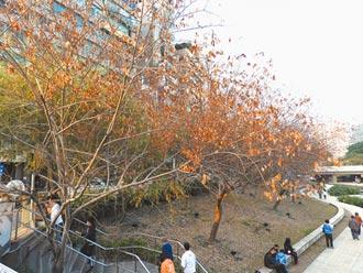 柳川樹木黃了 市府駁未枯死