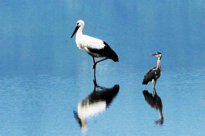 全球僅存不到3000隻、世界瀕危物種珍稀鳥類「東方白鸛」,前幾天也在花蓮縣壽豐鄉現身,吸引大批鳥友朝聖拍攝。(鳥友提供/羅亦晽花蓮傳真)