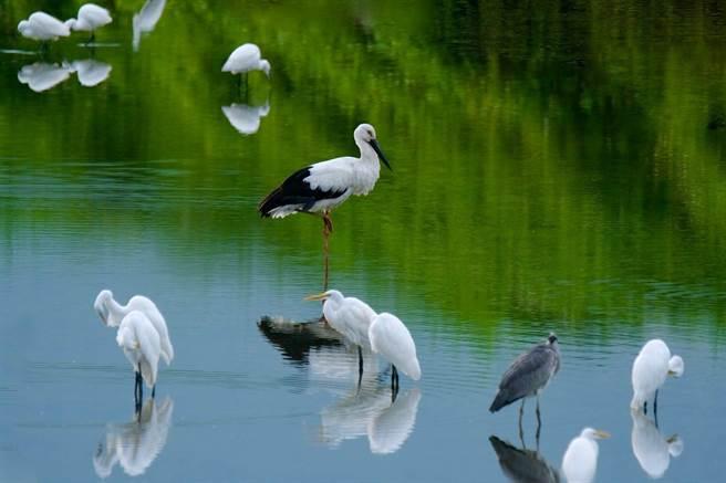 近日鳥友在壽豐鄉發現,一隻東方白鸛混跡在蒼鷺及白鷺群中覓食。(愛鳥人士邱建福提供/羅亦晽花蓮傳真)