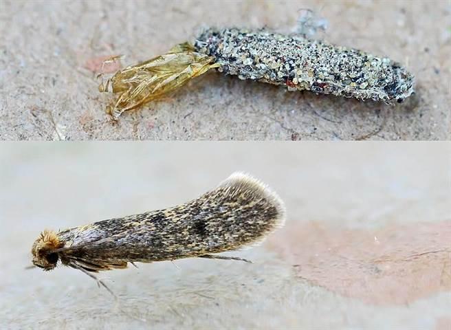 衣蛾顧名思義「會吃衣服」,牠的頭尾都有頭可以探出,因此也有不少人會稱牠們為「雙頭龍」。(圖/翻攝自維基百科)