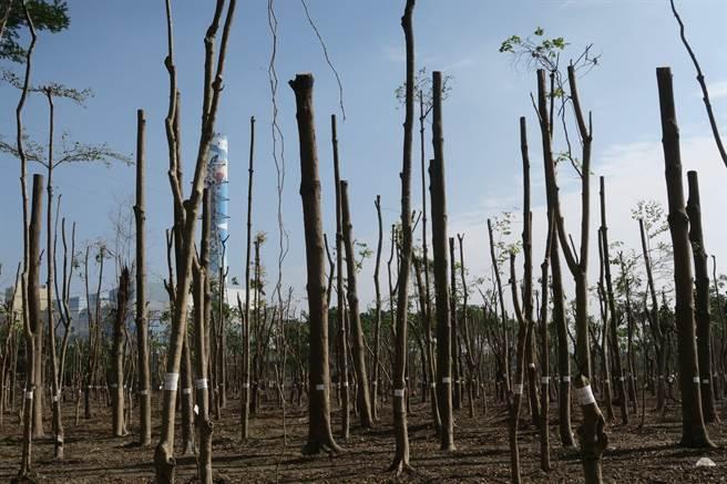 高雄仁武產業園區2萬棵樹齡20年的老木斷頭修剪,高雄市經發局承諾,立即停止修剪作業 ,未來園區綠化面積也將與原造林地面積相同。(森林城市協會提供/袁庭堯高雄報導)