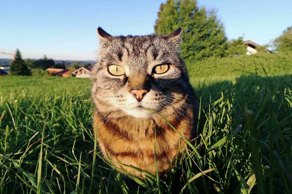 一掃晶片竟意外發現貓咪的老家遠在俄羅斯!(示意圖/達志影像)