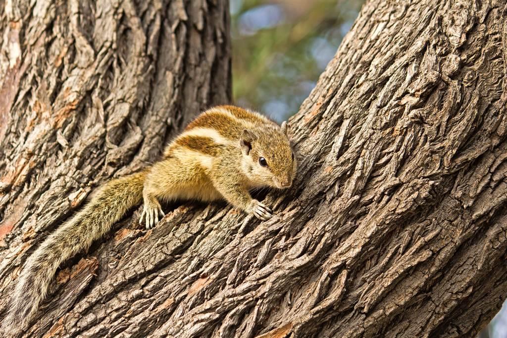 啄木鳥在啄木頭時吵醒了一隻正在樹洞中休息的松鼠。(圖為印度棕櫚松鼠/達志影像)