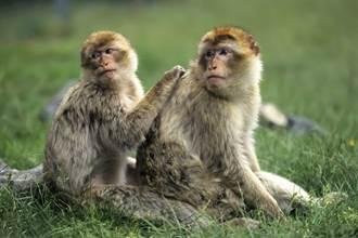 猴子刚开溜下秒惨死狮口 游客目睹血腥场面全吓歪