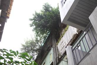 北市精華地段老公寓竄樹根嚴重漏水 居民憂倒塌不敢住