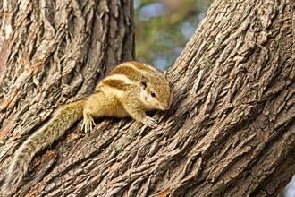 啄木鳥樹上狂打洞 驚醒松鼠暴怒咆哮