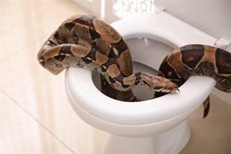 括約肌痙攣!蹲廁所驚見巨蟒 他嚇到便意全消