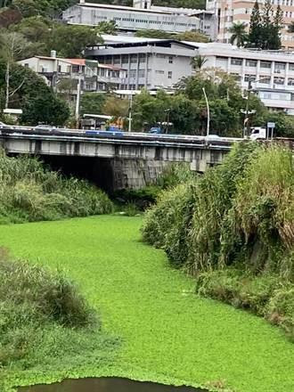 水芙蓉大舉入侵大湖南湖溪 一片綠油油暗藏危機