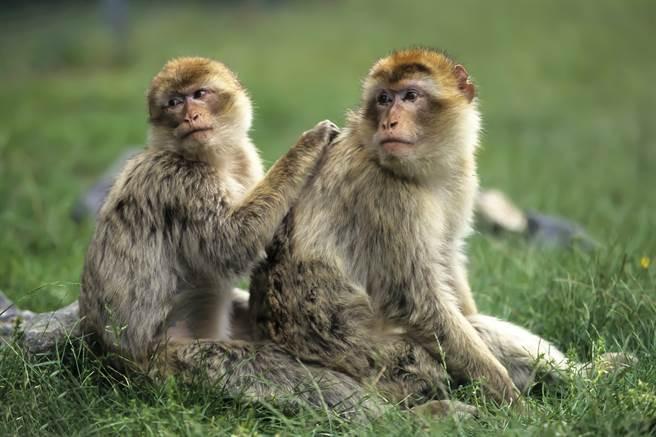 英國野生動物園的巴巴利獼猴從保護區內逃脫,沒想到下一秒就誤入獅子窩,遭撕咬慘死。(示意圖/達志影像)
