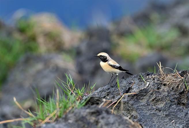 來自遙遠的大漠,迷路到台東的漠䳭,據判斷是有著美麗繁殖羽的公鳥。(莊哲權攝)