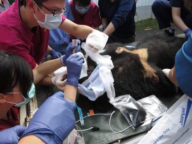 屏科大野生动物收容中心14日为崁顶黑熊进行麻醉及插管。(台东林管处提供/蔡旻妤台东传真)