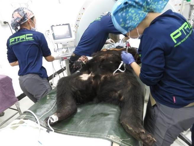 屏科大野生动物收容中心14日为崁顶黑熊架设各项生理监视仪器。(台东林管处提供/蔡旻妤台东传真)