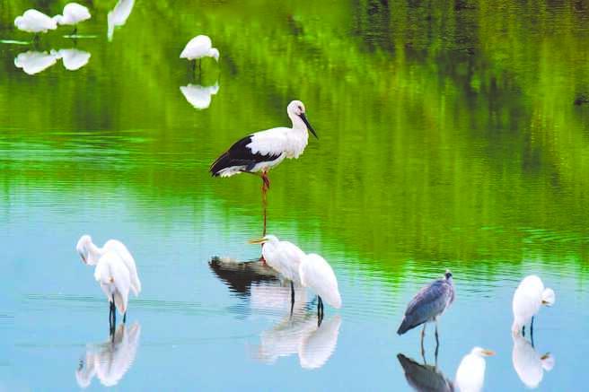 全球仅存不到3000只、世界濒危物种珍稀鸟类「东方白鹳」,前几天也在花莲县寿丰乡现身,吸引大批鸟友朝圣拍摄。(鸟友提供/罗亦晽花莲传真)