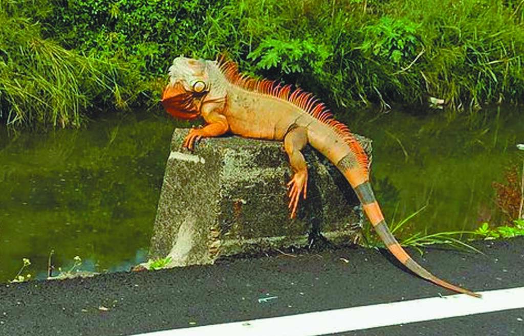 有民眾在萬丹鄉一處大排驚見綠鬣蜥曬日光浴,因巨型身影引來民眾熱議。(翻攝屏東縣萬丹鄉交流地/林和生屏東傳真)