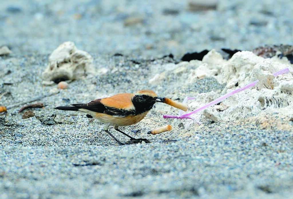 來自大漠的超級迷鳥「漠䳭」竟然叼起菸蒂,讓鳥友大嘆民眾的公德心在哪裡?(莊哲權攝)