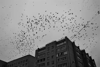 末日降臨?上萬隻烏鴉「遮天蔽日」狂飛14小時