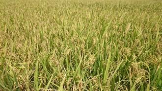 明年一期停灌 農民憂休耕影響米價