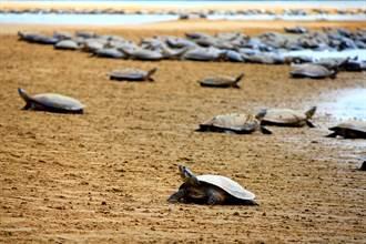 亚马逊河域同时孵化9万只巨河龟 壮观奇景如「乌龟海啸」