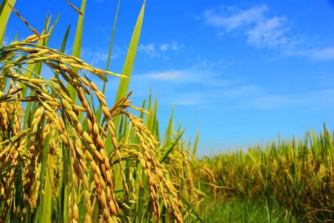嬰幼兒喝粥要如何挑選食用米,食藥署公布長達9年的巿售食用米重金屬殘留量抽測結果。(圖/達志影像)