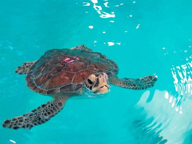巴哈馬男子蘇萬斯日前和友人出海捕魚時,撞見虎鯊獵捕海龜的驚險畫面,最後他們出手,成功救援海龜。圖為海龜資料照。(資料照/美聯社)