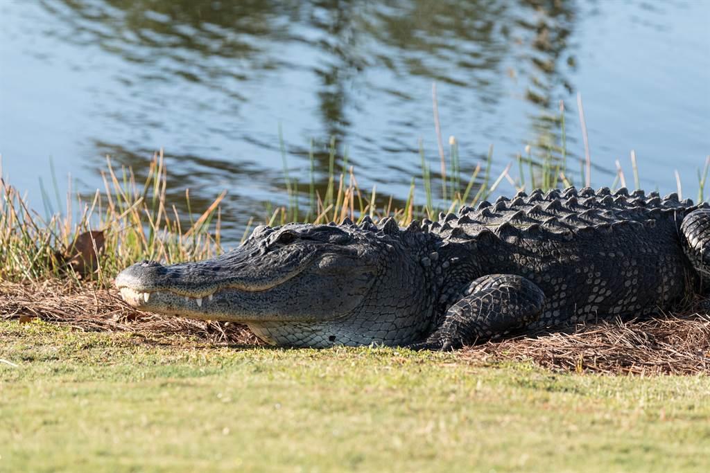 佛羅里達州男子打高爾夫球時,不小心將球打到了鱷魚的尾巴上。(示意圖/達志影像)