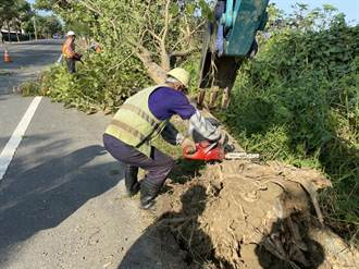 下营174线景观树风铃木染病 17日移除32棵危木