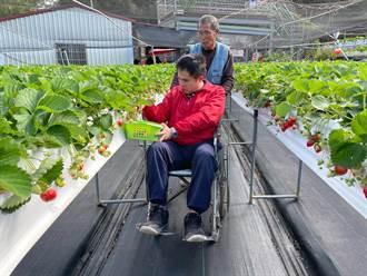 輪椅族也能採草莓  大湖地區農會推廣無障礙果園
