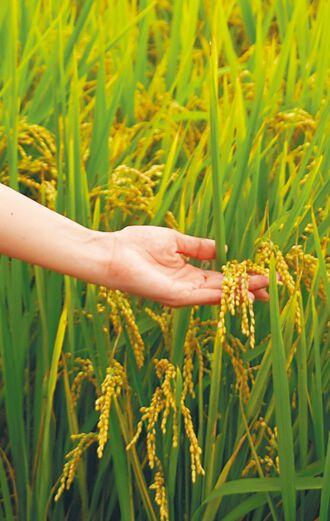 藍委嗆 公糧米標示3歲以下不准吃