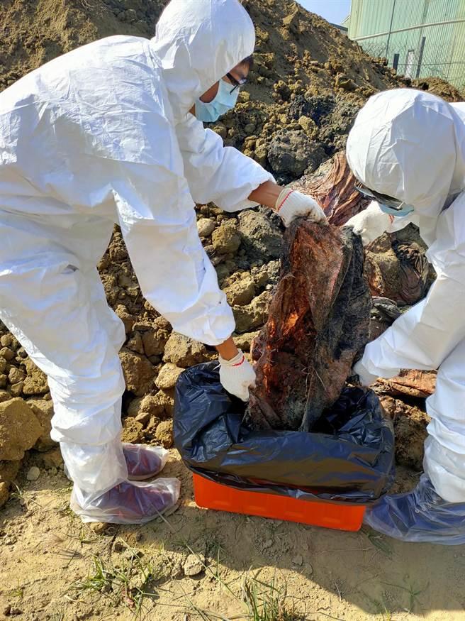 不肖养鸡业者偷埋鸡尸,家畜所人员前往採样送检。(家畜所提供/张亦惠嘉县传真)