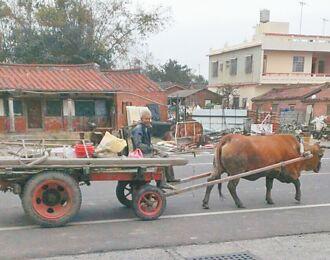 雲林蔦松國小 搶救家鄉最後1頭牛