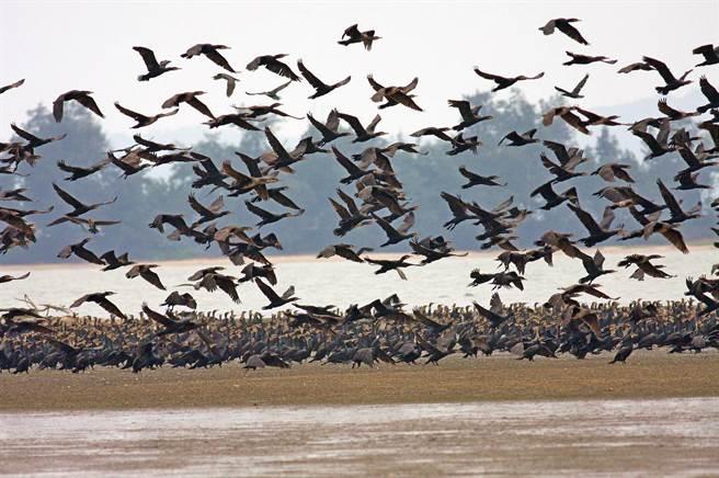 鸕鶿是金門最具特色的冬候鳥,吸引各地遊客跨海賞鳥。(李金生攝)