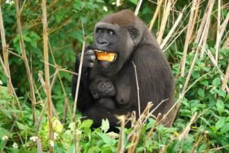 金剛猩猩寶寶姓名揭曉「Jabali」獲1004票拔得頭籌