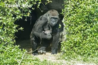 金剛猩猩寶寶名字出爐 「Jabali」飄台灣味奪冠