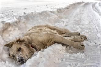 流浪狗媽躺雪地緊抱7寶寶後定格 驚覺牠用餘溫保暖幼犬