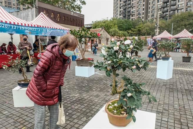 新竹縣茶花季在新瓦屋開幕,現場展示各類品種的茶花。(羅浚濱攝)