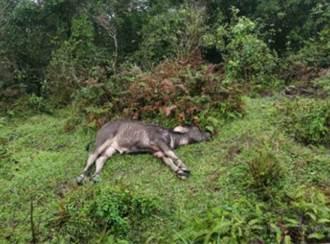 陽明山24隻水牛集體暴斃 初步死因出爐