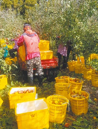福壽山蘋果豐收 較去年增近4倍