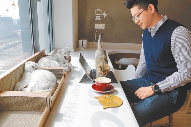 上海不少青年白領熱衷光顧貓咪主題咖啡館,緩解自身壓力。(中新社資料照片)