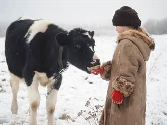 吃貨牛見雪好奇啥味道 吐長舌臉上狂甩主人笑瘋