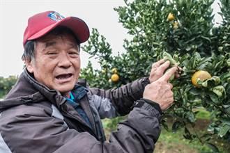 新竹縣峨眉桶柑減產5成 橘農盼明年有好行情