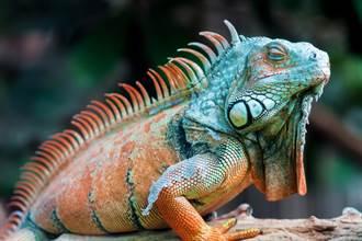 為何綠鬣蜥要殺掉不TNR 網揭關鍵:撲殺是上策
