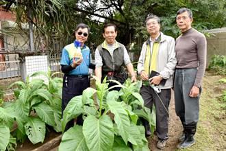 讓蟲蟲吸菸!嘉市社大自然農法班推廣菸草水