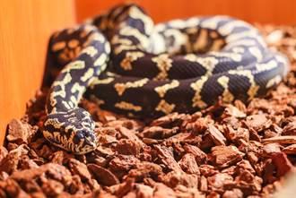 「小蛇僅筷子長」怕牠野外餓死 養5年竟旋風式長大變巨蟒
