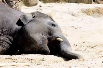 滿月小象遭騎士撞飛「雙眼瞪大」瀕死 CPR10分後竟奇蹟甦醒